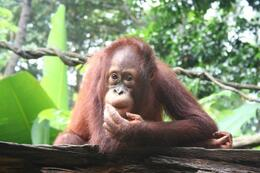 Photo of Singapore Singapore Zoo Morning Tour with optional Jungle Breakfast amongst Orangutans Orangutan having Breakfast