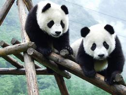 This entire trip was a memorable experience. Can't get enough of the pandas! - May 2012