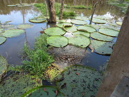Photo of   Giant lilly pads