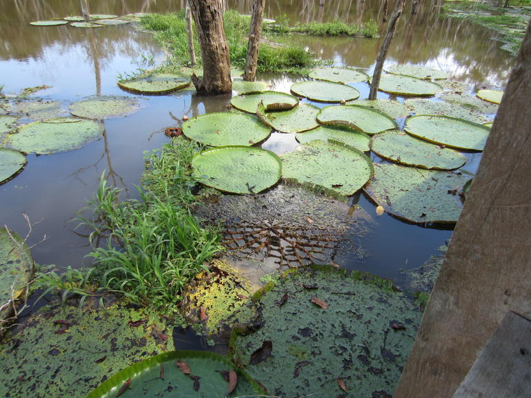 Giant lilly pads - Manaus