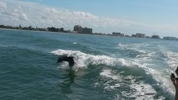 Dolphins playing in the Gulf of Mexico , arobinson63 - November 2015