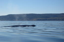 Photo of Quebec City Full-Day Whale Watching Cruise from Quebec Blue whale
