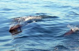 We got into a large school of spotted dolphins and humpback whales., Barry S - February 2008