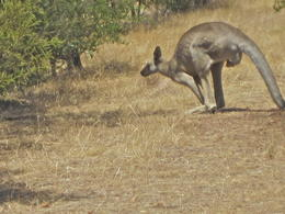 Photo of Melbourne Savannah Walkabout Australian Animals Eco Tour from Melbourne One of Many Kangaroos on our Tour