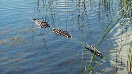 Photo of Everglades National Park Private Tour: Florida Everglades Airboat Ride and Wildlife Adventure Snaggletooths best side