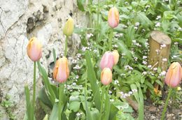 Beautiful tulips in bloom were still colourful even though the day was overcast and wet. , Lynne J - May 2015