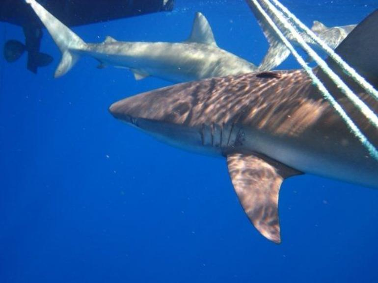 Swimming with Sharks - Oahu