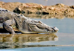 Photo of Goa Private Eco-Tour: Crocodile Watching, Spice Plantation and Elephant Experience in Goa Crocodiles!