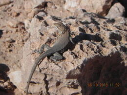 I was walking around taking pictures of the beautiful Grand Canyon when I spotted this little guy. He posed for me so I took a picture then he scurried away. The tiny lizard was so cute and ... , Daniel B - September 2013