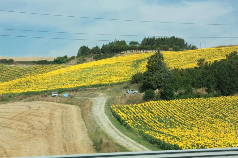 Beautiful sunflower fields all the way to Florence.