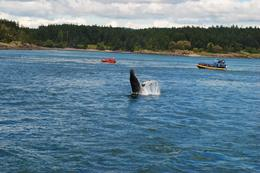 Photo of Seattle Friday Harbor Day Trip & Whale Watching from Seattle whale is having fun