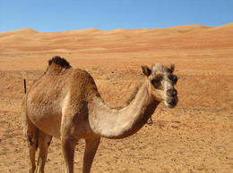 Photo of Muscat Private 4x4 Desert and Wadi Safari - Wahiba and Wadi Bani Khalid Camel
