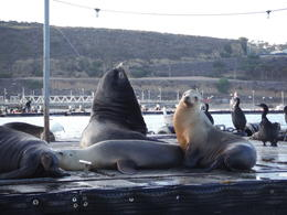 Photo of San Diego San Diego Harbor Speed Boat Adventure Seals and Sea Lions sun bathing