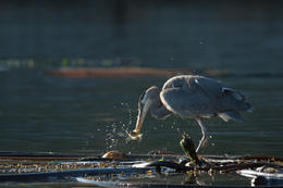 A Great Blue Heron catches a small fish while standing atop of kelp - May 2011