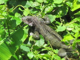 LOTS of Iguanas in the trees to greet the morning sun. , Michael F - May 2012