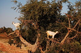 The argan trees are supposed to be found only in Morocco. The goats get up the trees and eat their fruits. , Cosmin Catalin S - February 2013
