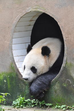 Photo of Chengdu Half-Day Chengdu Panda Breeding Center Tour with Optional Baby Panda Holding Keeping cool