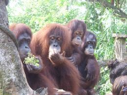 Photo of Singapore Singapore Zoo Morning Tour with optional Jungle Breakfast amongst Orangutans As close as you can get!