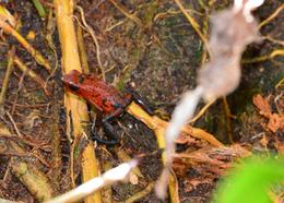 Photo of San Jose Tortuguero National Park frog
