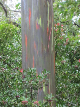 Rainbow eucalyptus - May 2013