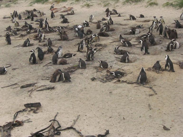 The Penguin colony, Cape Point - Cape Town