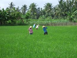 people weeding the Rice field - August 2010