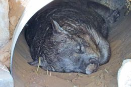 Photo of   Southern hairy-nosed wombat