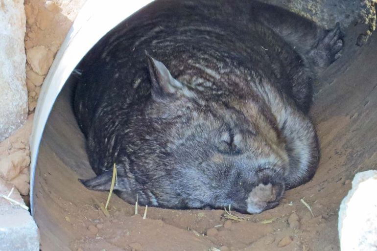 Nocturnal hairy-nosed wombats are relatively common in the areas around the lower Murray, but sometimes hard to see.
