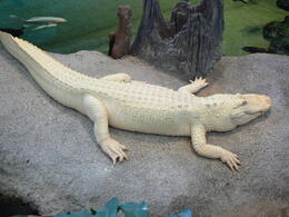 Photo of San Francisco San Francisco Hop-on Hop-off Tour ALBINO ALLIGATOR AT CALIFORNIA MUSEUM OF SCIENCES SAN FRANCISCO
