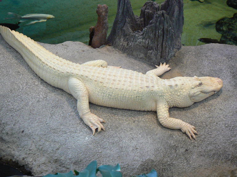 ALBINO ALLIGATOR AT CALIFORNIA MUSEUM OF SCIENCES SAN FRANCISCO - San Francisco