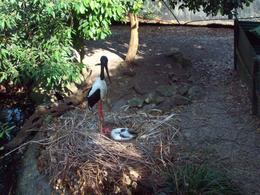 Black Necked Stork with chick,Port Douglas Zoo. , Mohan A - November 2014