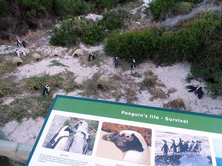 Boulders Beach Penguins - Cape Town