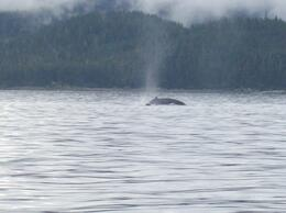 We were whale watching and saw many, not far from our boat. Great! , Karen A - September 2014