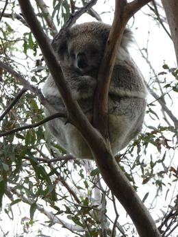 at the koala sanctuary, Phillip Island, Tera K - November 2010