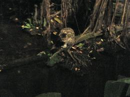Photo of Singapore Singapore Zoo Night Safari Tour with optional Buffet Dinner Cool Animals