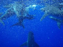 Photo of Oahu Oahu Shark Dive Feeding Frenzy