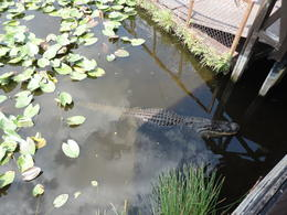 Photo of Miami Miami Everglades Airboat Adventure with Transport Gator Sighting