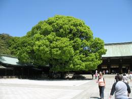 Tree in front of the entrance to the Meiji shrine. - April 2009