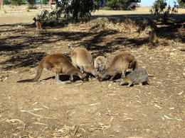Photo of Adelaide Kangaroo Island in a Day Tour from Adelaide SAM_4738