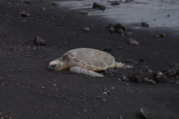 Turtle at the black sand beach. , Covey W - November 2014