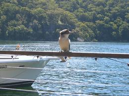 Local Kookaburra, called in to say hello and didn't mind being fed the odd morsel. Photo taken from our table beside the water., Colin D - April 2008