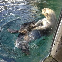 Watched a few sea otters dive in the pool , AM - February 2016