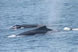 We got a lot of great pictures of the whales this trip. , Jill D - August 2012