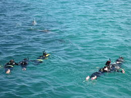 Photo of   Swimming with Monkey Mia's Dolphins