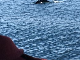 One of six hump back whales we saw off the coast of Reykjavik on a truly memorable whale watching trip , Matt L - April 2016