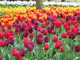 One of the many tulip gardens , L Marie V - June 2014
