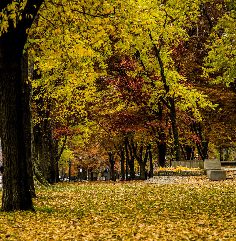 Fall leaves in Commmonwealth Ave Mall. - Boston