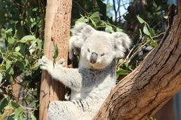 How cute is she! Nellie the Koala! , Double Diamond - October 2013
