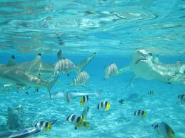 Photo of Bora Bora Bora Bora Snorkel, Sharkfeeding and Lagoonarium Full-Day Tour including Picnic Lunch IMG_0136
