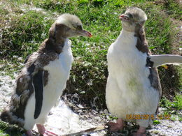 2 yellow eyed penguins we saw - they look a little unkempt because it was moulting season , robert h - April 2015